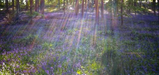 jacinthe des bois